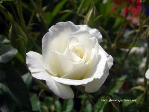 un fiore ed una preghiera per i bambini - e gli adulti - morti a New Town dans immagini sacre white-rose_35-300x225