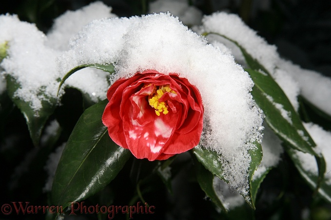 Red Camellia (Camellia sasanqua) after a light snowfall